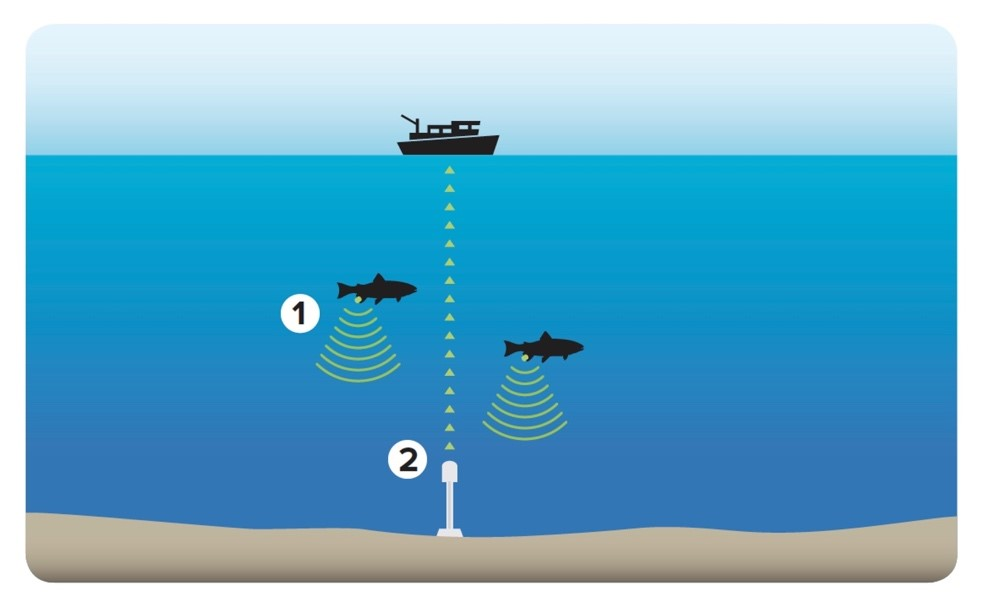 Fish tracking is the basis of the RAP biological data set: tagged fish (1) transmit a signal captured by acoustic receivers (2).