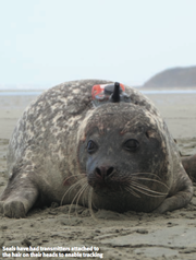 Seals have had transmitters attached to the hair on their heads to enable tracking